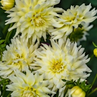 FOTD - July 16 - Dahlias
