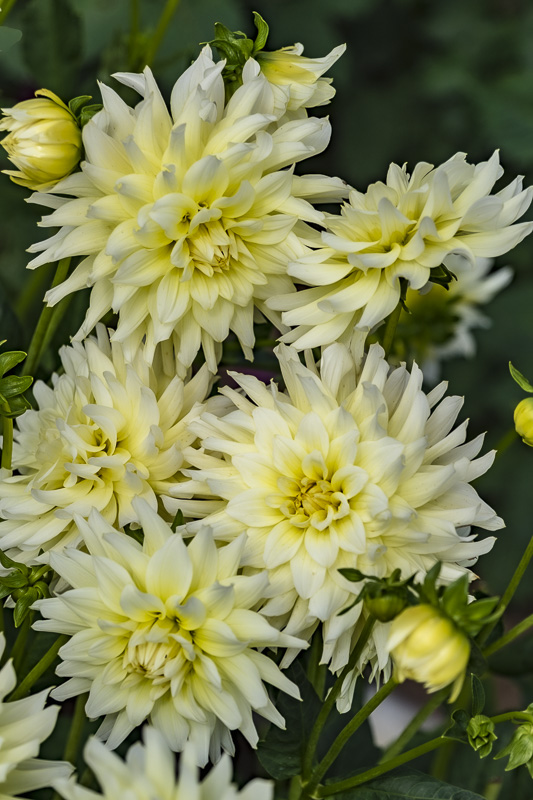 ceenphotography.com, FOTD, flower of the day, Cee Neuner, photography, yellow, dahlia, green, close up