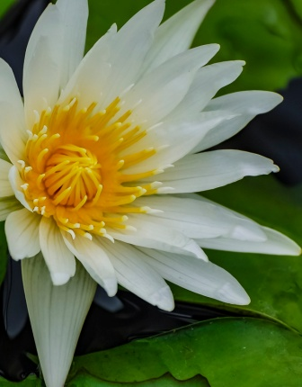 waterlily, white, yellow, ceenphotography.com, FOTD, flower of the day, Cee Neuner, photography