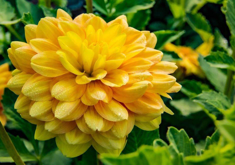 ceenphotography.com, FOTD, flower of the day, Cee Neuner, photography, golden yellow, green, misty, dahlia