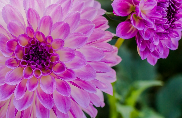 ceenphotography.com, FOTD, flower of the day, Cee Neuner, photography, dahlia, magenta, pink, pair