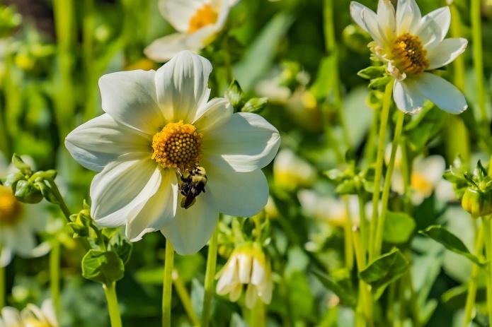 dahlia, bee, white, green, ceenphotography.com, FOTD, flower of the day, Cee Neuner, photography