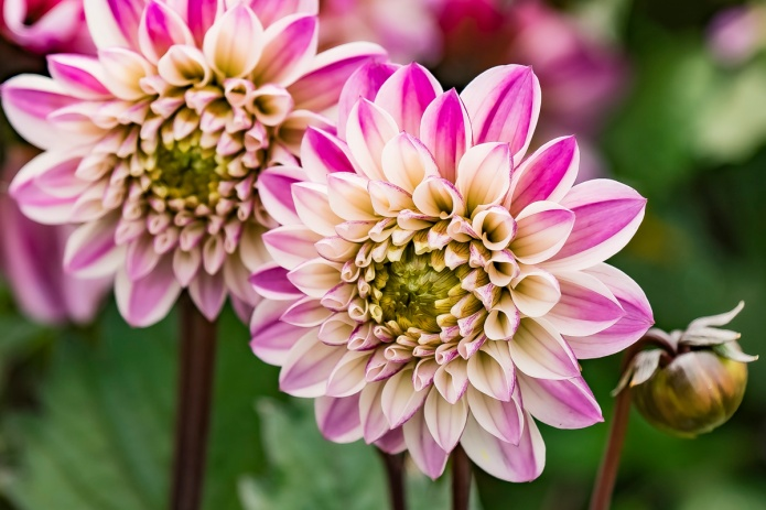 ceenphotography.com, FOTD, flower of the day, Cee Neuner, photography, dahlia, pink, white, bud