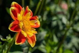 ceenphotography.com, FOTD, flower of the day, Cee Neuner, photography, dahlia, green, yellow, red orange, close up, nature