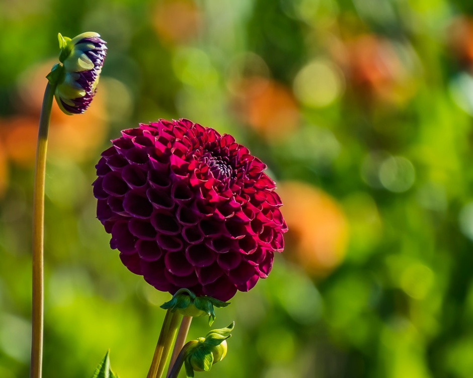 ceenphotography.com, FOTD, flower of the day, Cee Neuner, photography, dahlia, bud, red, green