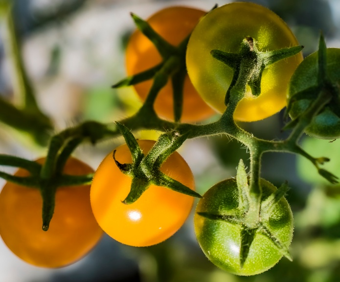 ceenphotography.com, FOTD, flower of the day, Cee Neuner, photography, tomato, orange, green