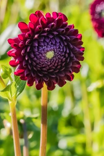 ceenphotography.com, FOTD, flower of the day, Cee Neuner, photography. dark red, dahlia, bud