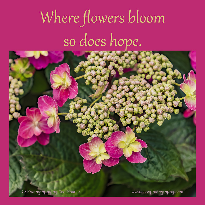 Where flowers bloom so does hope, inspire, uplift, motivate, photography, Cee Neuner, ceenphotography.com, hydrangea, bud, pink, magenta, flower
