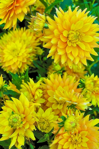ceenphotography.com, FOTD, flower of the day, Cee Neuner, photography, bud, dahlias, yellow, green