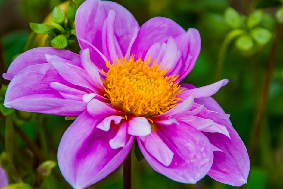 ceenphotography.com, FOTD, flower of the day, Cee Neuner, photography, dahlia, colorful