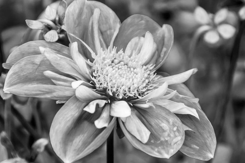 ceenphotography.com, FOTD, flower of the day, Cee Neuner, photography, dahlia, black and white