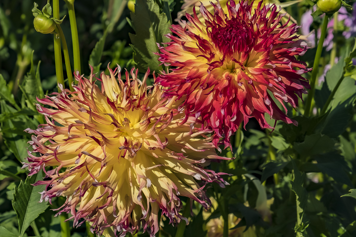 FOTD – August 5 – One Old and One New Dahlia
