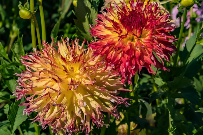 ceenphotography.com, FOTD, flower of the day, Cee Neuner, photography, dahlia, one old, one new, pair, orange, red, yellow