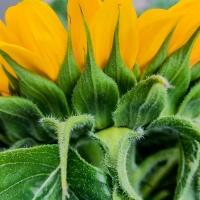 FOTD - August 6 - A side of sunflower