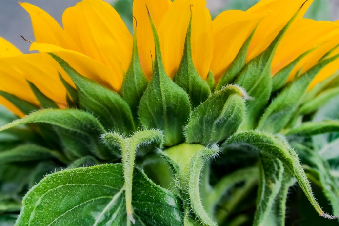 sunflower, yellow orange, green, close up, macro, ceenphotography.com, FOTD, flower of the day, Cee Neuner, photography