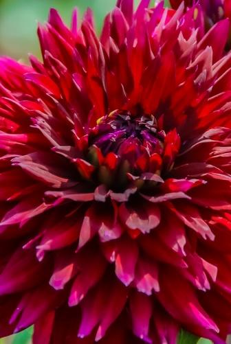 ceenphotography.com, FOTD, flower of the day, Cee Neuner, photography, close up, dark red, dahlia