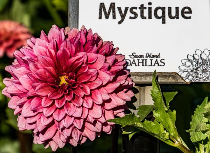 © Photography by Cee Neuner       www.ceenphotography.com, mystic, swan island dahlias, flower, dahlia, maroon, close up