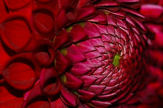 ceenphotography.com, FOTD, flower of the day, Cee Neuner, photography, dark red, dahlia, bud, center, macro, close up