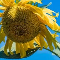 FOTD - August 15 - Aging Sunflowers
