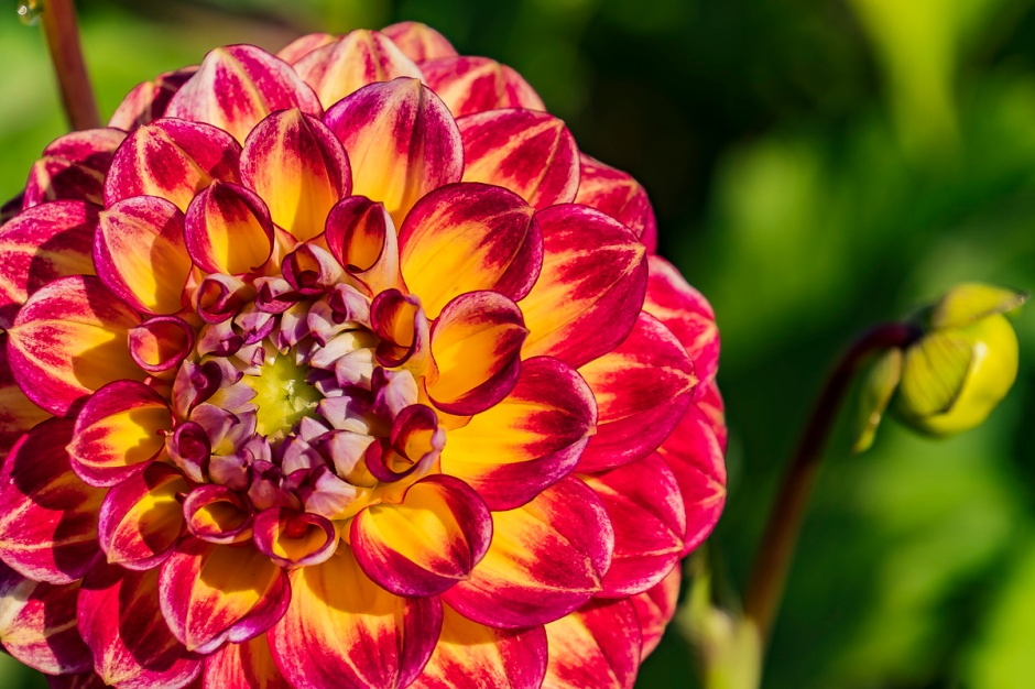 ceenphotography.com, FOTD, flower of the day, Cee Neuner, photography, dahli, red, orange, close up, bud