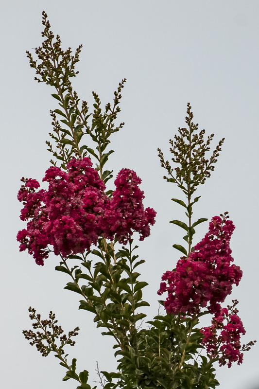 FOTD – August 18 – Can you identify this blooming tree?