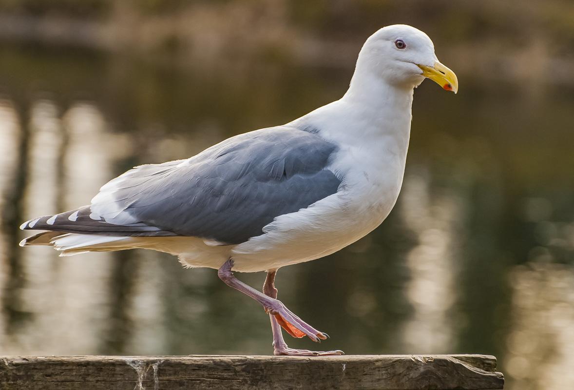 Bird Weekly – Photo Challenge – Seagulls