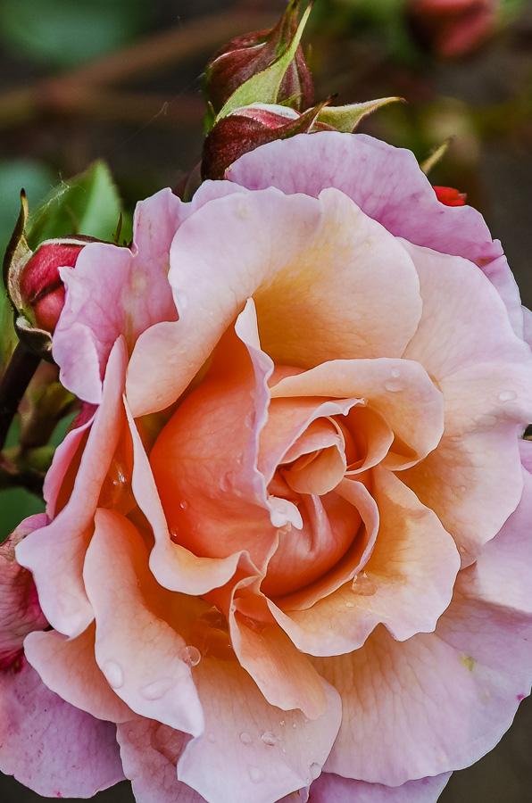 FOTD – September 8 – Rose