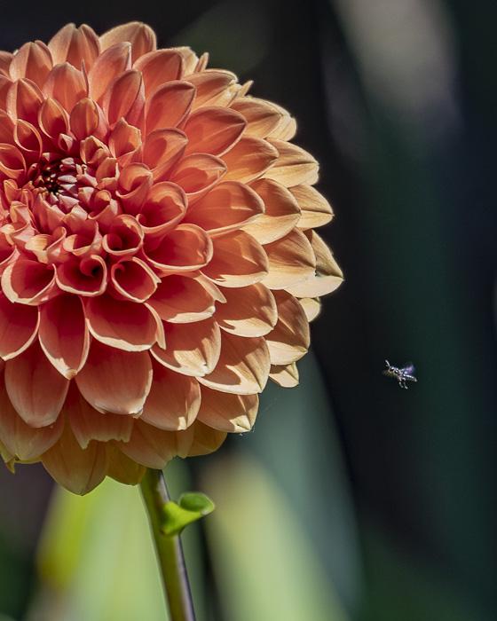 FOTD – September 7 – Dahlia