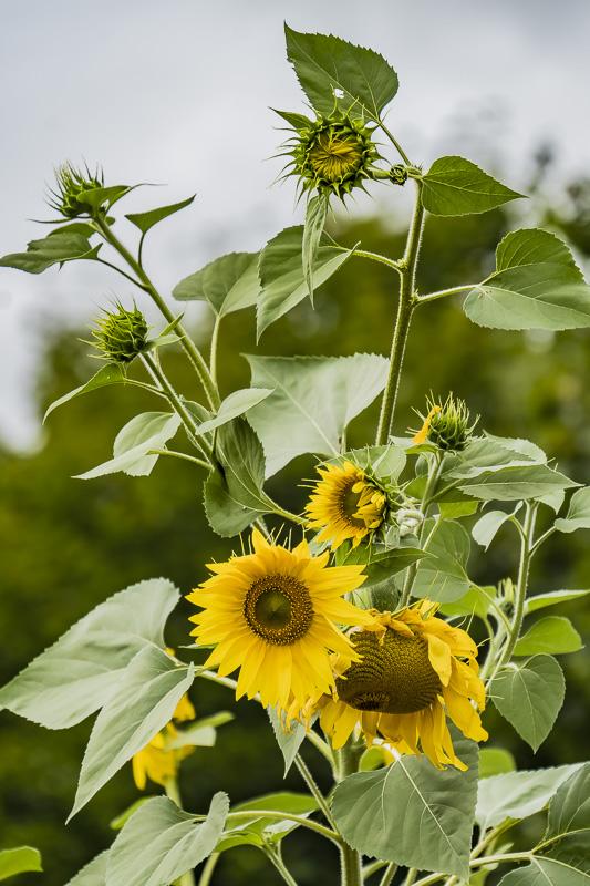 FOTD – September 3 – Sunflowers