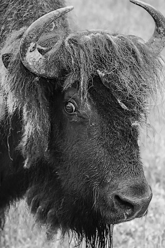 Cee's Black & White Photo Challenge: Horns