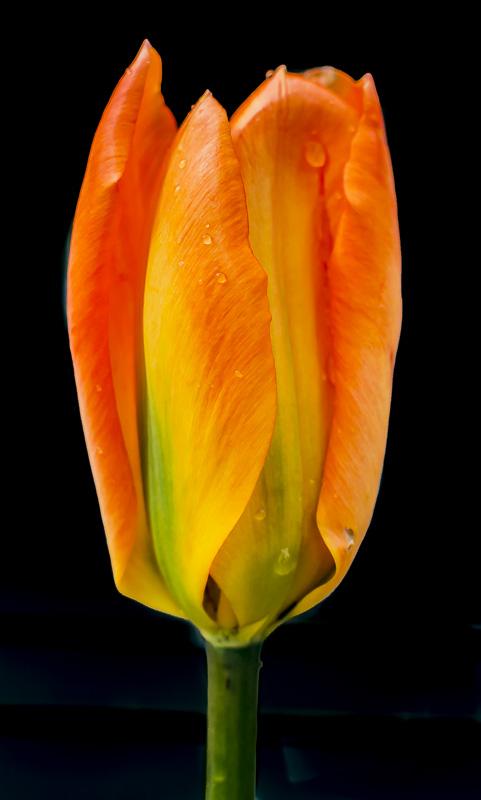 FOTD – September 21 – Tulip with raindrops