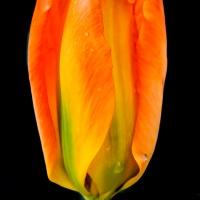 FOTD - September 21 - Tulip with raindrops