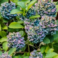 FOTD - September 23 - Dried Hydrangea