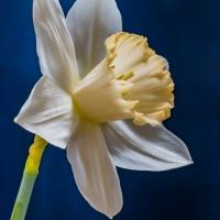 FOTD - September 29 - Daffodil