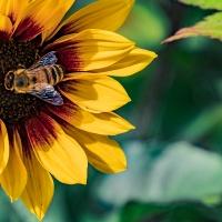 FOTD - September 30 - Sunflower and Friend