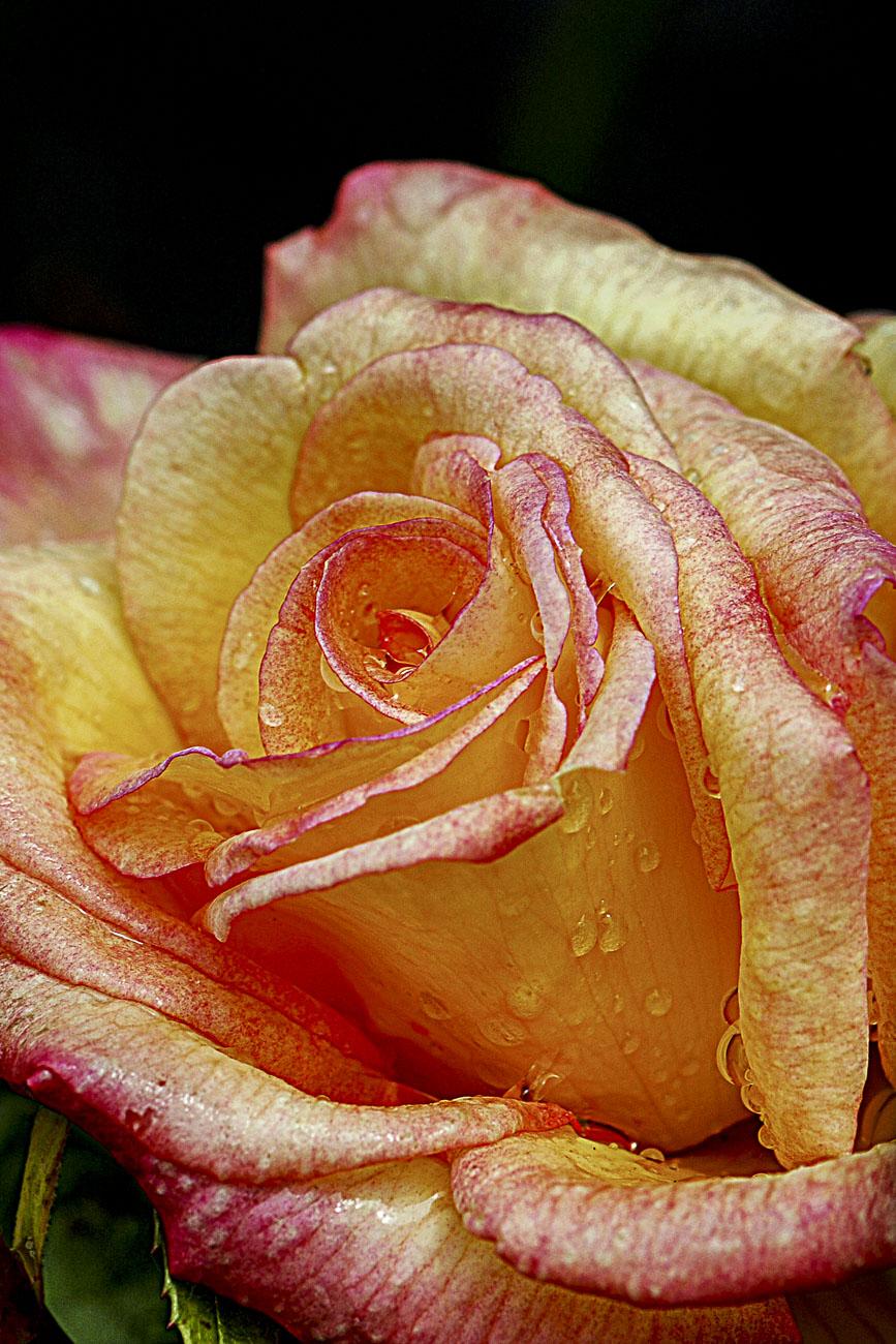 FOTD – September 11 – Rose with raindrops