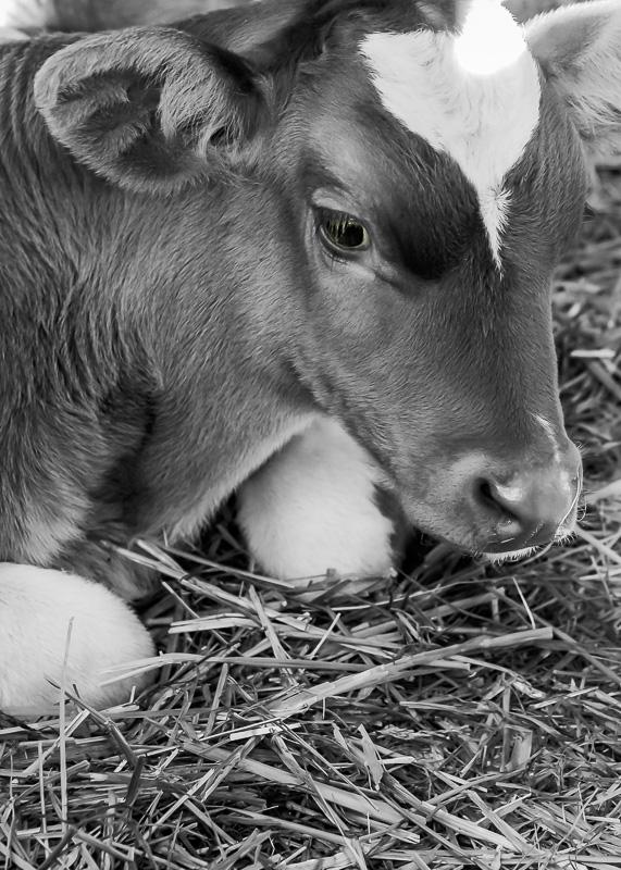 Cee's Black & White Photo Challenge: Pets and Farm Animals