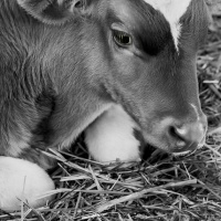 Cee's Black & White Photo Challenge:   Pets and Farm Animals