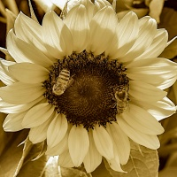 October 1 - KindaSquare  -  One sunflower and two bees