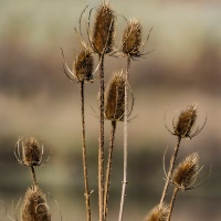 FOTD - October 19 - Dry Teasels