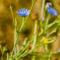 FOTD - October 21 - Blue Wildflowers