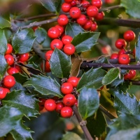 FOTD - October 30 - Holly Berries