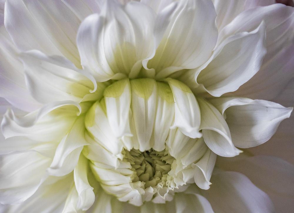 FOTD – November 1 – Dahlia