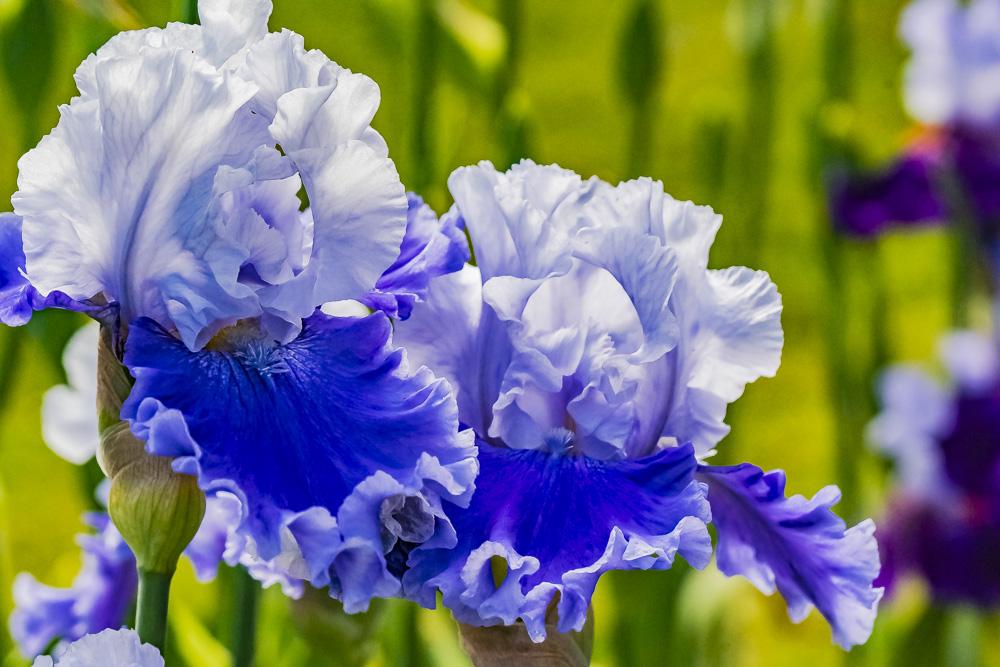 FOTD – November 28 – Bearded Iris