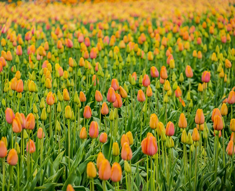 Lens-Artists Challenge #125 & Fan of #87 – Tulips