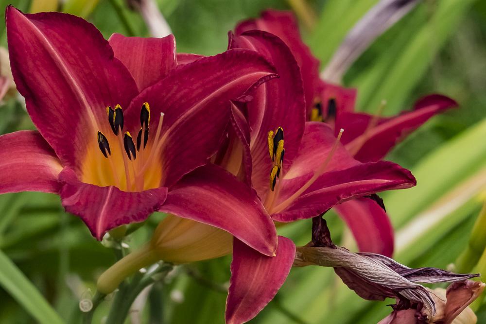 FOTD – December 17 – Day Lilies