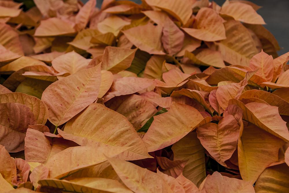 FOTD – December 20 – Poinsettia