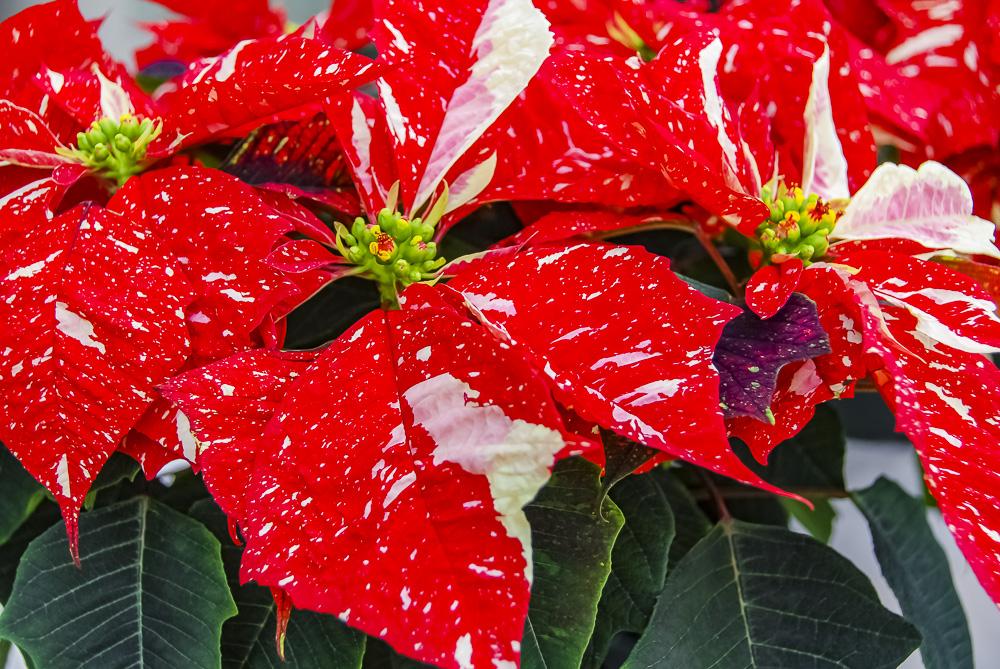 FOTD – December 21 – Poinsettia