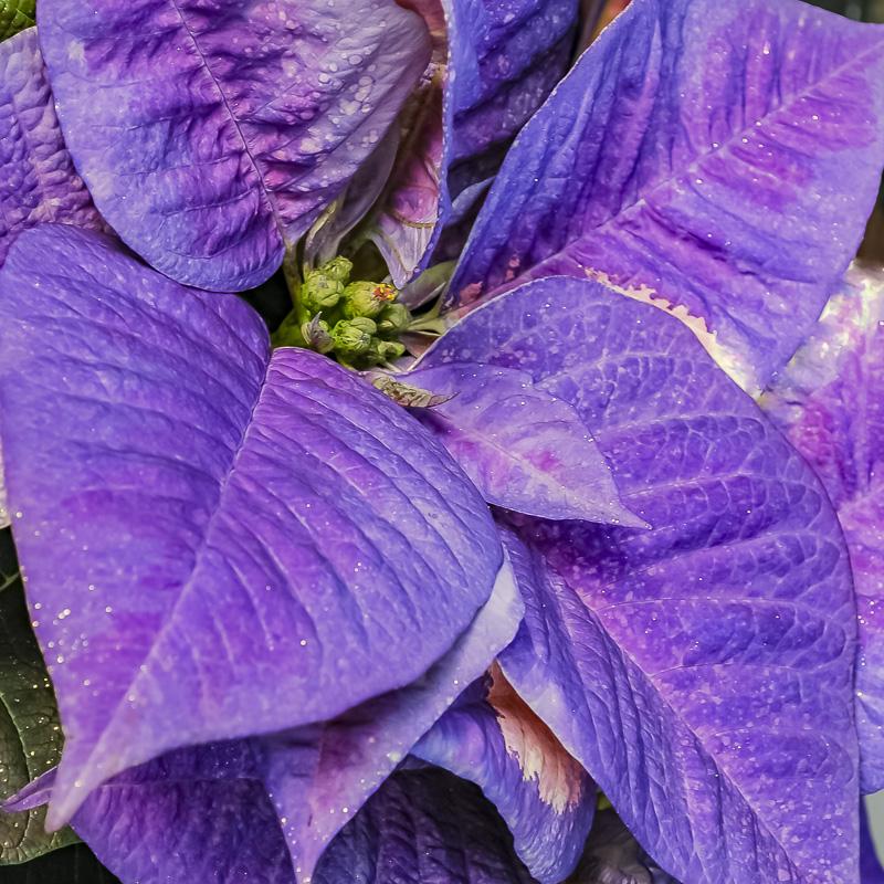 FOTD – December 22 – Poinsettia