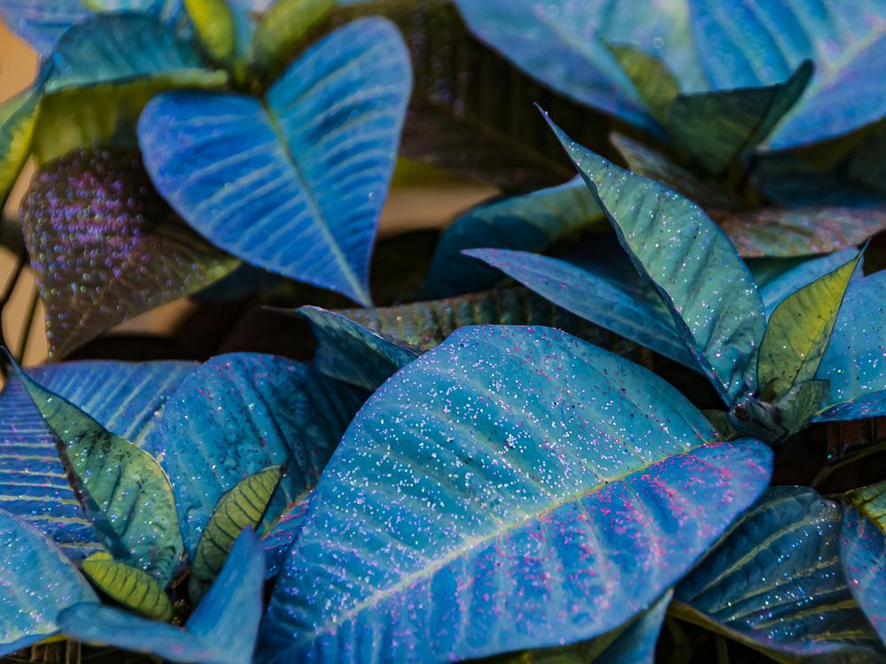 FOTD – December 23 – Poinsettia